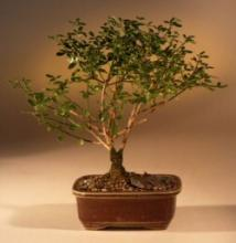 Winter Jasmine Money Tree Bonsai :: Lucky Bamboo Plant