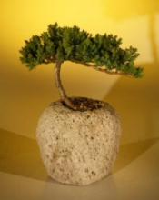 Lava Rock Juniper Bonsai Tree :: Juniper Bonsai Trees