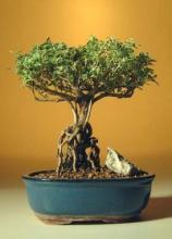 Flowering Mount Fuji Serissa Beginners Bonsai Tree :: Flowering Bonsai Trees