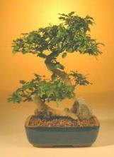 Ligustrum Bonsai Tree :: Indoor Bonsai Trees