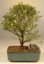 Tree of a Thousand Stars :: Indoor Bonsai Trees