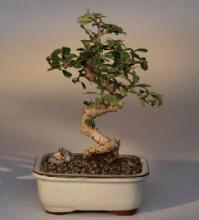Flowering Fukian Tea Bonsai Tree :: Indoor Bonsai Trees