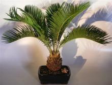 Sago Palm Indoor Tree :: Indoor Bonsai Trees
