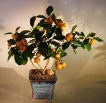 Citrus Indoor Bonsai Tree :: Indoor Bonsai Trees