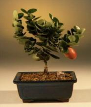 Dwarf Natal Plum Indoor Tree :: Indoor Bonsai Trees