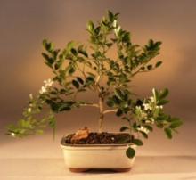Lucky Orange Jasmine Money Tree :: Lucky Bamboo Plant