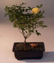 Flowering Mini Rose Bonsai Tree Tiny Yellow :: Lucky Bamboo Plant