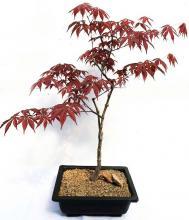 Japanese Red Leaf Bonsai Tree (Medium) :: Indoor Bonsai Trees