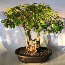 Surinam Cherry Indoor Bonsai Tree :: Indoor Bonsai Trees