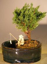 Shimpaku Juniper Bonsai Tree :: Juniper Bonsai Trees