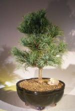White Pine Japanese Bonsai Tree :: Japanese Bonsai Trees
