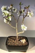 Quince Japanese Bonsai Tree :: Japanese Bonsai Trees