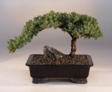 Juniper Money Tree Bonsai :: Indoor Bonsai Trees