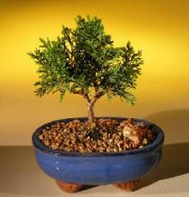 Shimpaku Budget Bonsai Tree :: Indoor Bonsai Trees