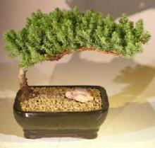 Dwarf Juniper Bonsai Tree (Small Size) :: Juniper Bonsai Trees