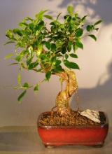 Banyan Fig Bonsai Tree with Curved Trunk :: Indoor Bonsai Trees