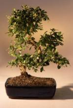 Large Fukien Tea Bonsai Tree with Curved Trunk :: Indoor Bonsai Trees