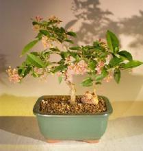 Barbados Cherry Bonsai Tree :: Indoor Bonsai Trees