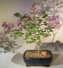 Korean Lilac Bonsai Tree :: Indoor Bonsai Trees