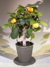 Lemon Artificial Bonsai Tree :: Artificial Bonsai Trees