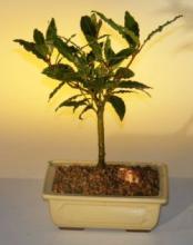 Bay Leaf Budget Bonsai Tree :: Indoor Bonsai Trees