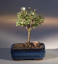 Baby Serissa Tree :: Indoor Bonsai Trees