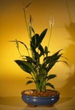 Flowering Peace Lily Bonsai Tree :: Indoor Bonsai Trees