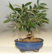 Oriental Coiled Ficus Tree :: Indoor Bonsai Trees