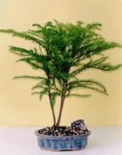 Norfolk Island Pine :: Indoor Bonsai Trees