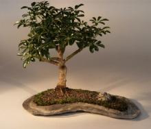 Hawaiian Umbrella Tree in Rock Slab :: Indoor Bonsai Trees