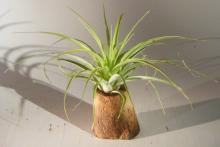 Tropical Epiphytic Tree :: Indoor Bonsai Trees