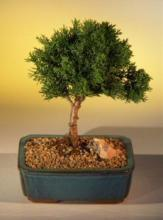 Shimpaku Juniper Bonsai :: Juniper Bonsai Trees