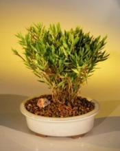 Indoor Baby Bamboo Tree :: Indoor Bonsai Trees