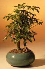 Hawaiian Umbrella Tree Bonsai (Small Size) :: Indoor Bonsai Trees