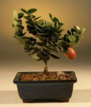 Flowering Plum Budget  Bonsai Tree :: Flowering Bonsai Trees