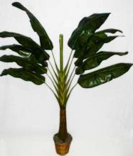 7 foot Traveller Palm Tree ::