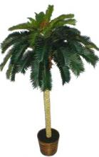 6 foot Tropical Cycas Palm Tree ::