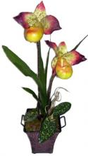 21 inch Pitcher Orchid Plant ::