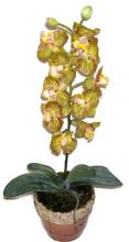 21 inch Potted Phaleonopsis Orchid ::