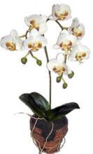 14 inch Mini Cymbidium Cream Orchid