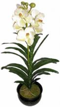 28 inch Potted Royal Phaleonopsis Orchid (Cream) ::