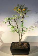 Flowering Dwarf Sweet Acacia Indoor Bonsai Tree :: Flowering Bonsai Trees