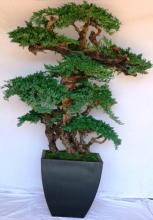 6 foot Monterey Preserved Bonsai Tree :: Artificial Bonsai Trees