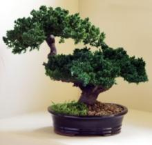 Monterey - Double Trunk-Preserved Bonsai Tree :: Artificial Bonsai Trees