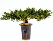 "8"" Juniper - Preserved Bonsai Tree :: Artificial Bonsai Trees"