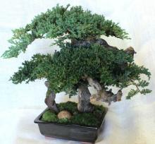 "20"" Monterey - Preserved Bonsai Tree :: Artificial Bonsai Trees"