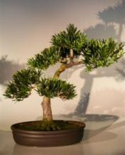 Large Artificial Podocarpus - Preserved Bonsai Tree :: Artificial Bonsai Trees