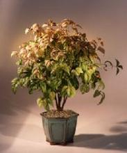 Flowering Heavenly Bamboo Bonsai Tree :: Flowering Bonsai Trees