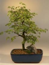 Flowering Brazilian Raintree Bonsai Tree :: Indoor Bonsai Trees