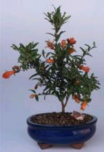 Flowering Heavenly Bamboo Indoor Bonsai Tree :: Flowering Bonsai Trees